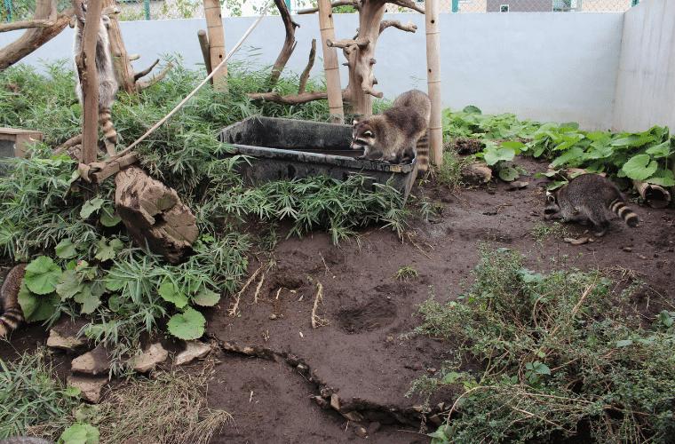 かみね動物園のアライグマ